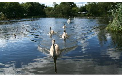 Stephenstown Pond and Visitor Centre - swans